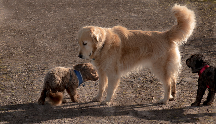 Hund in England und Schottland